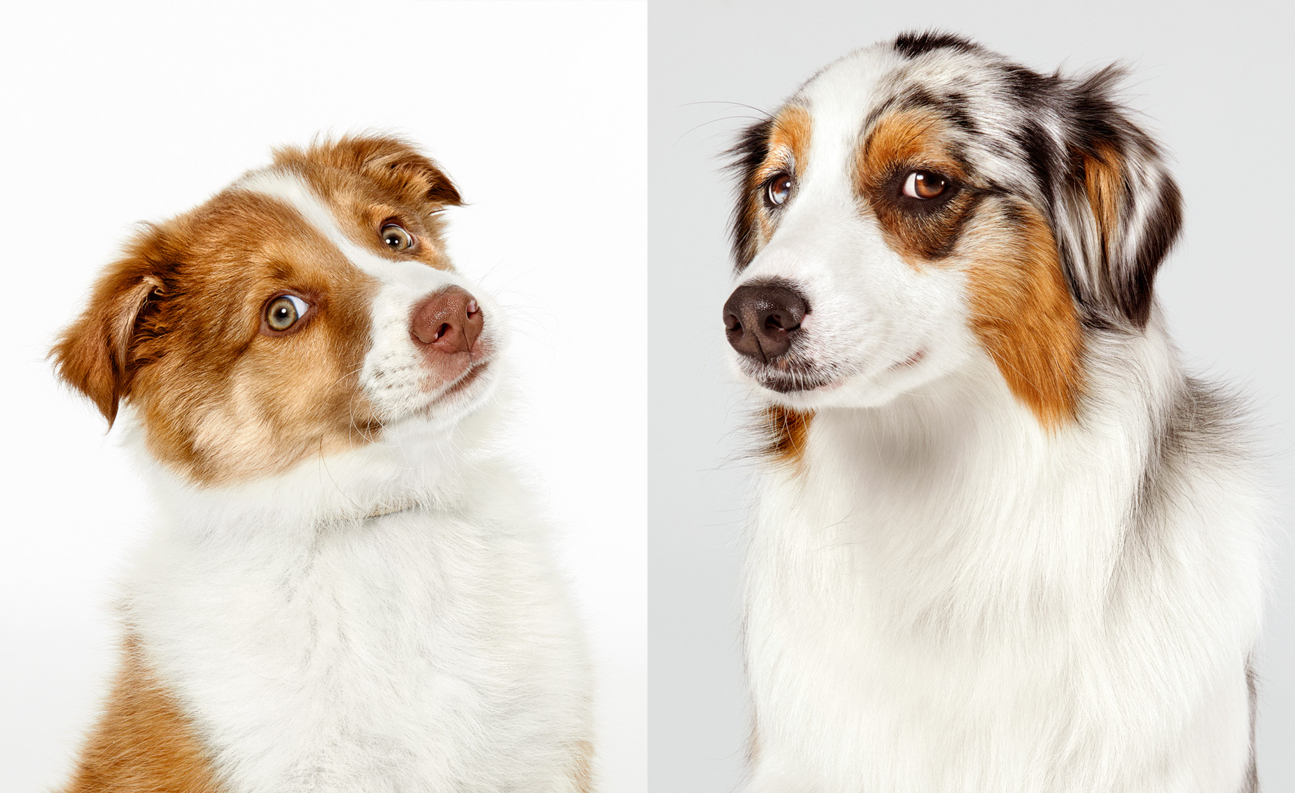 Border Collie and Australian Shepherd portraits