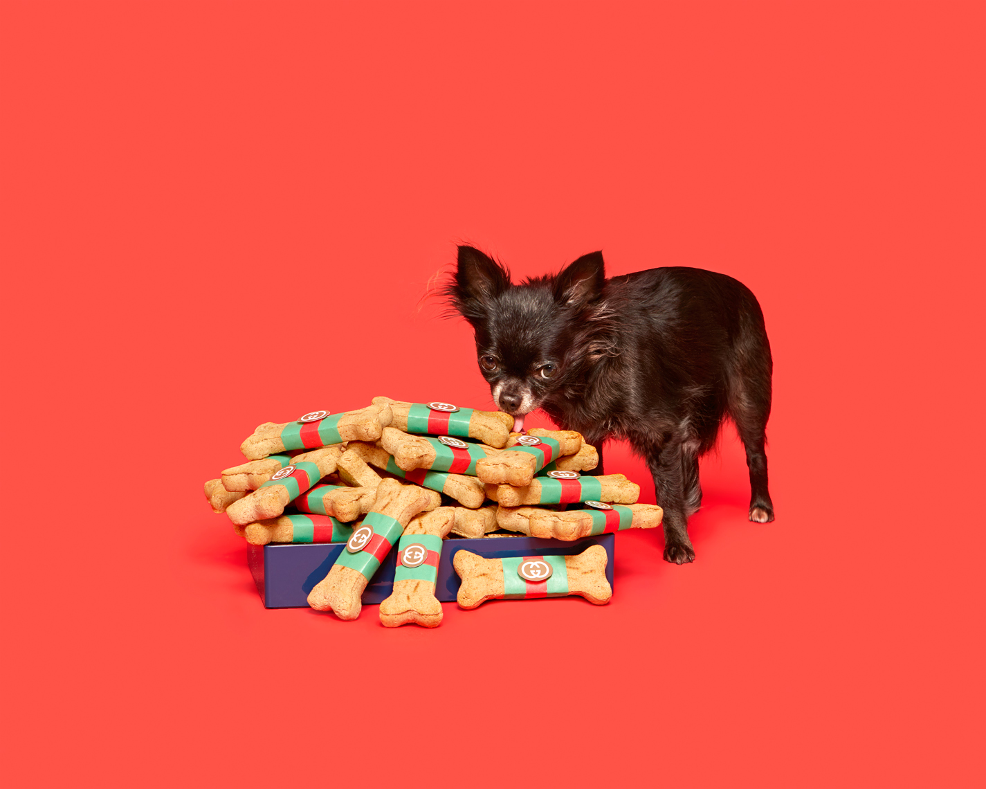 Chihuahua with gucci bones