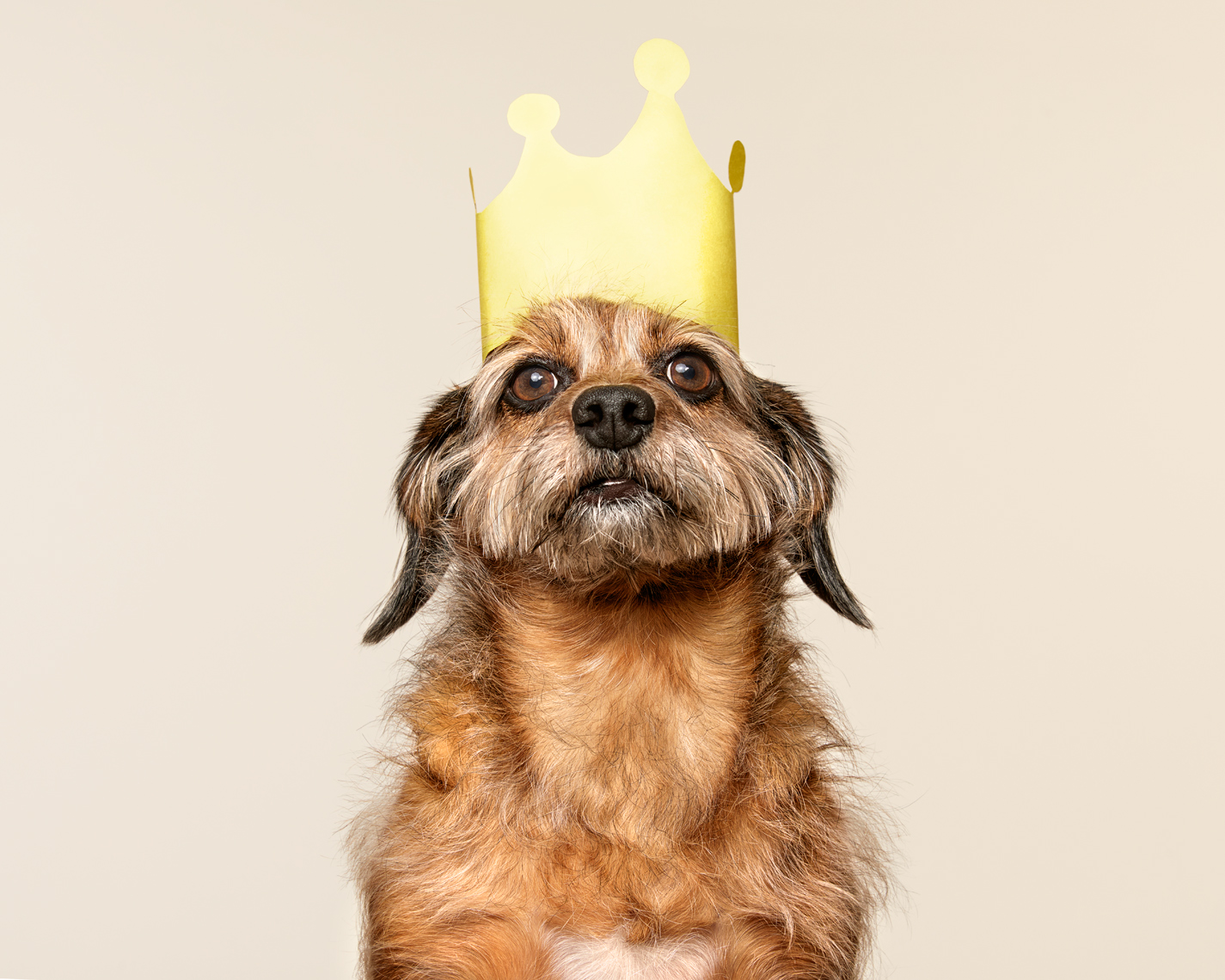 Scruffy terrier wearing a paper crown