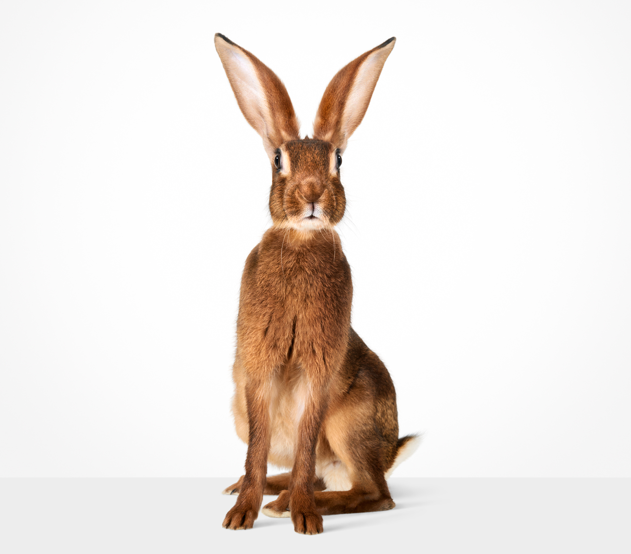 Hare standing up with erect ears