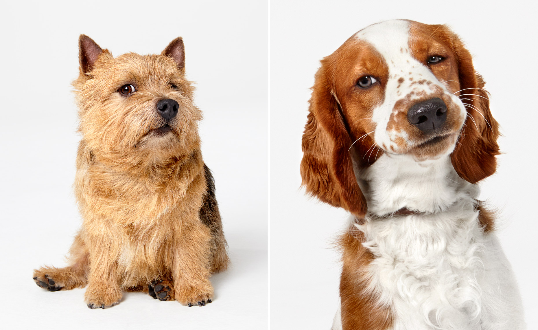 Norwich Terrier and Springer Spaniel portraits