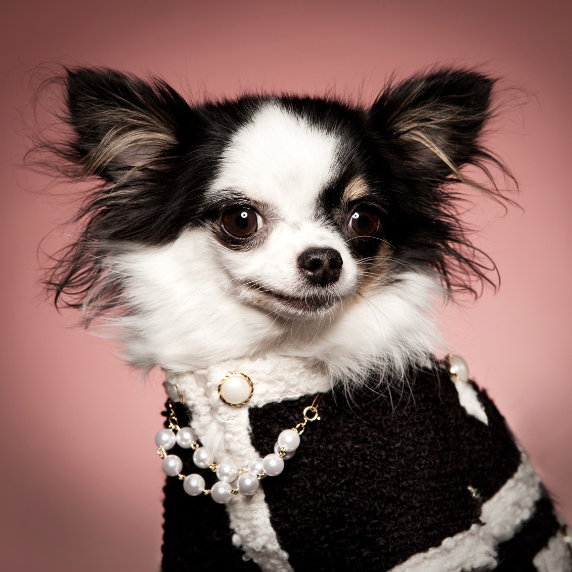 Dog in chanel costume