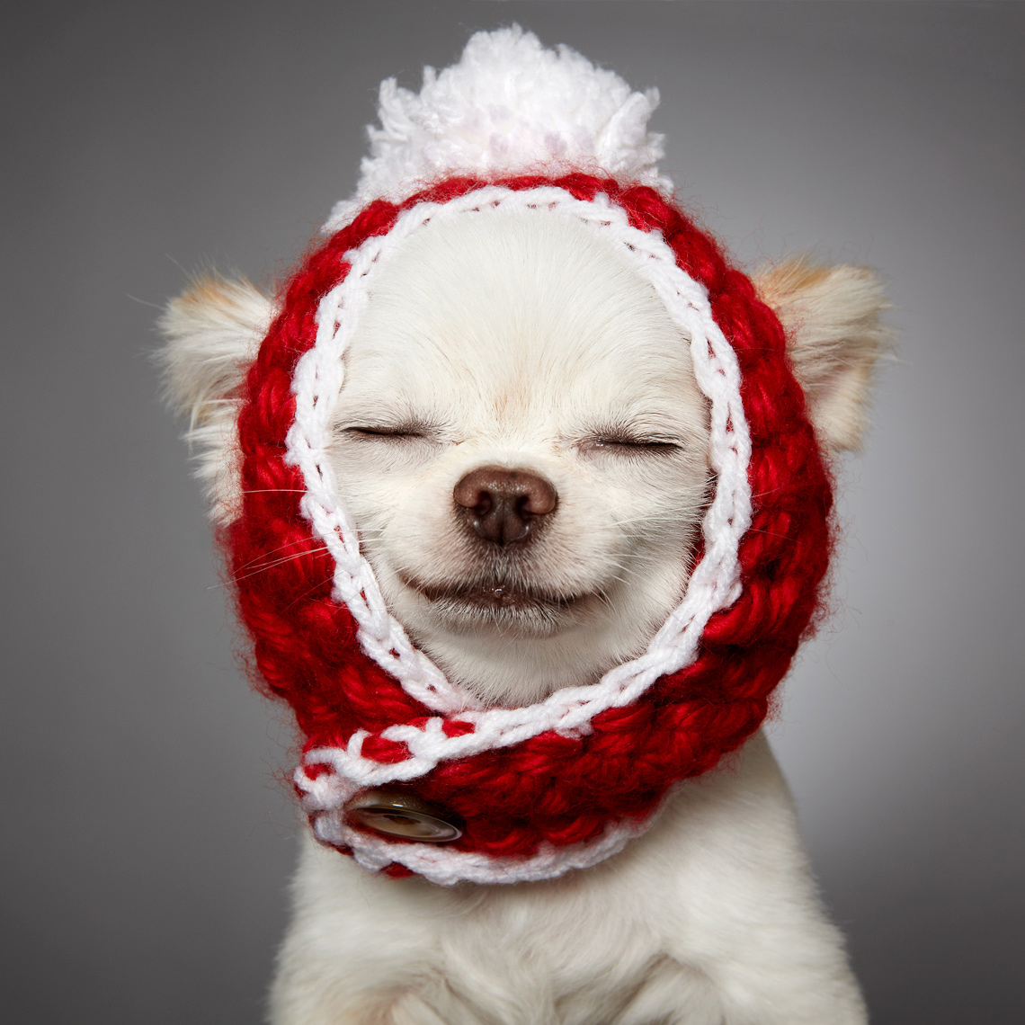 Chihuahua with red pompom hat