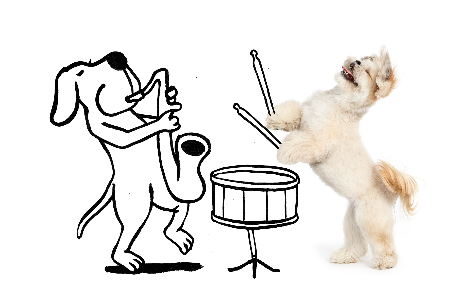 Lhasa Apso dog drumming