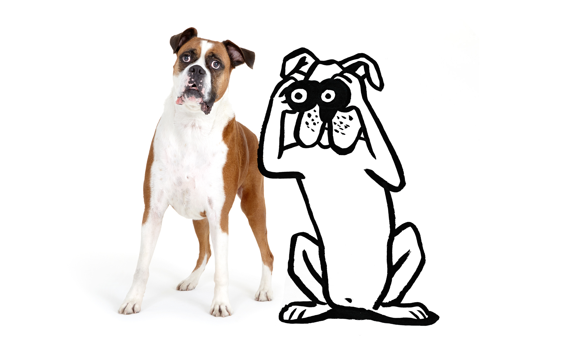 Surprised Boxer with illustration