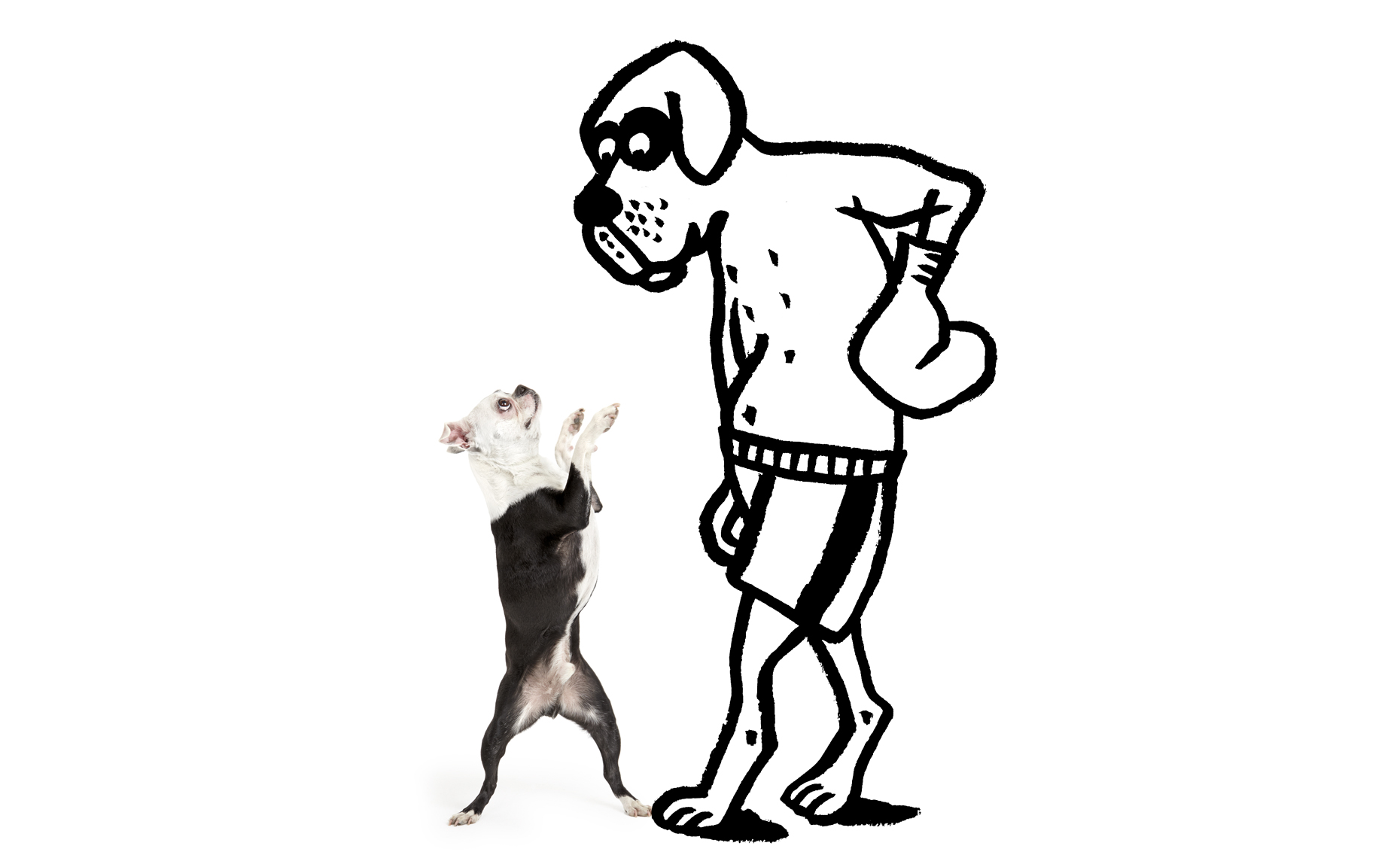 Boston Terrier boxing illustration